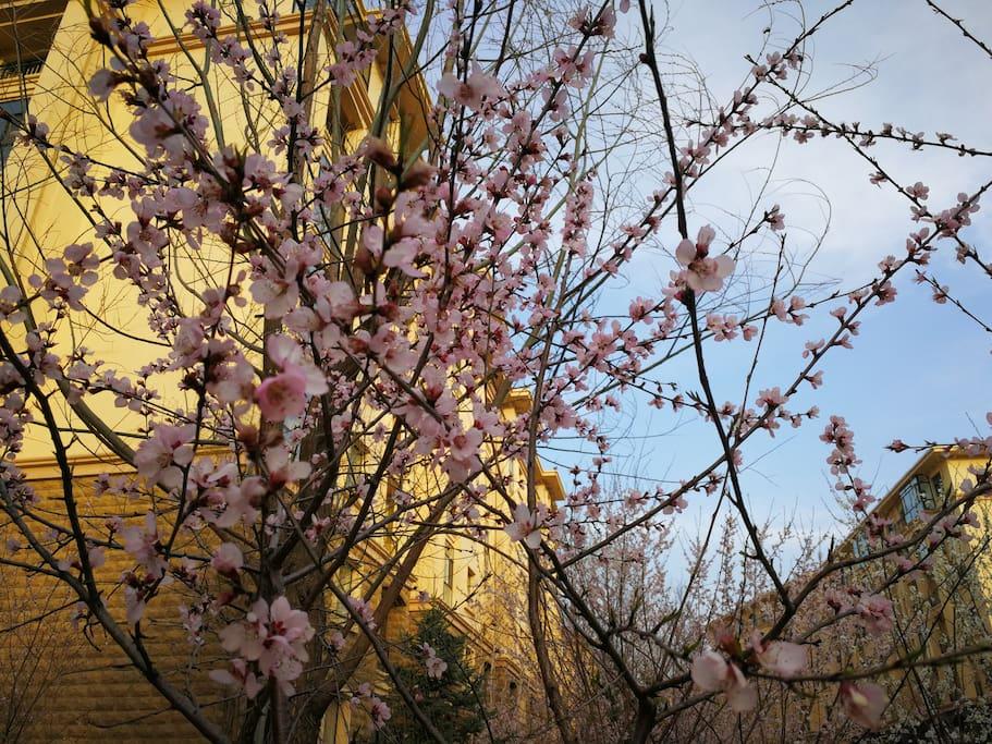 小区四月桃花灿烂