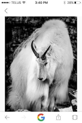 Okanogan Mountain Goat Get Away