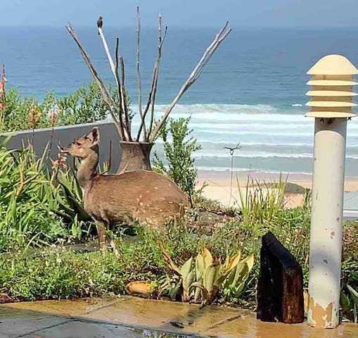 Bushbuck grazing in front garden at pool overlooking the sea.