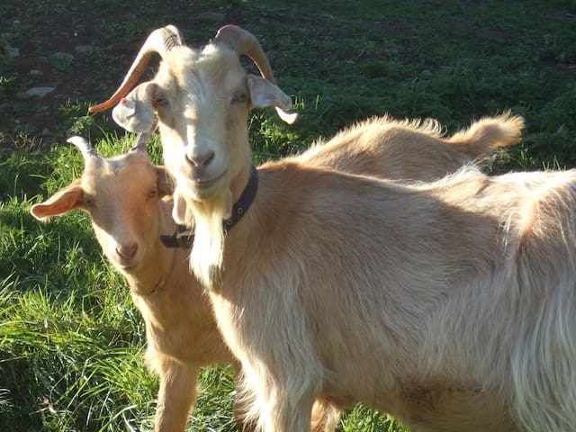 Grace and Newton our two Gurnsey goats will be please to meet you