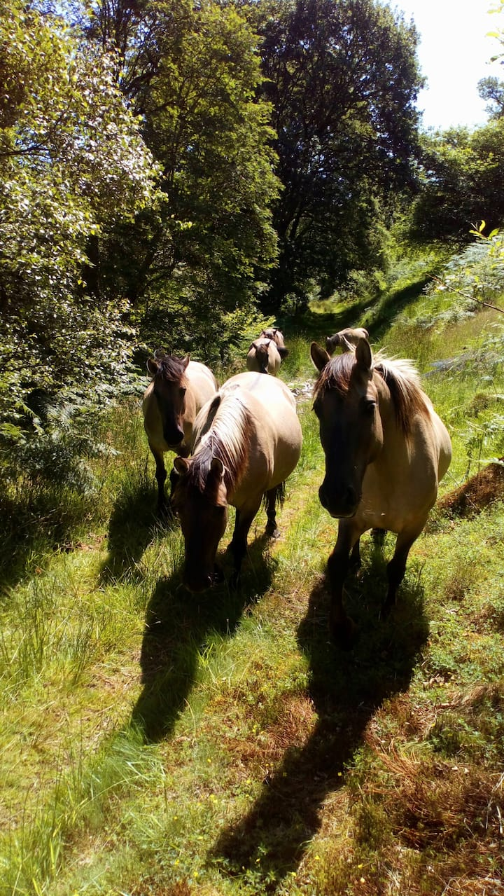 wild horses on the cambrian wildwood