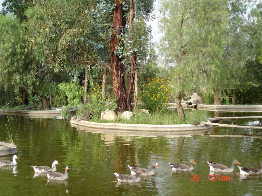 Laguna con gansos dentro de las áreas verdes