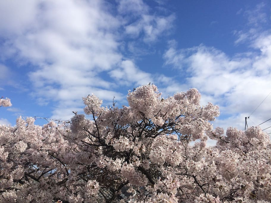 April - the oldest cherry blossom tree in Ikoma