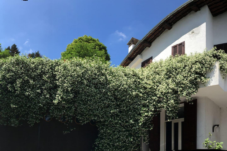 The villa and the big jasmin