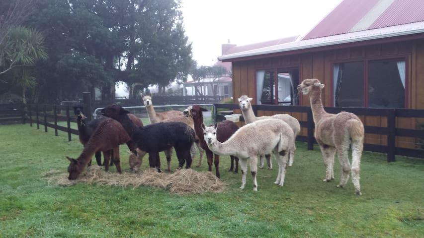 Alpacas outside the studio accommodation.