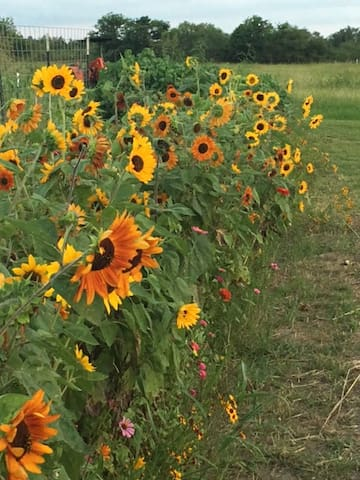 colorful sunflowers and zinnia's
