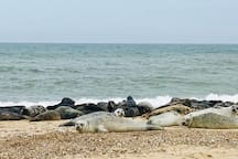 Seals on the beach at Horsey Gap