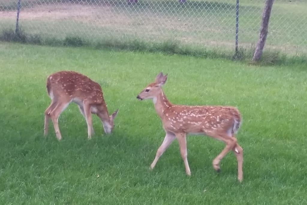 Deer pass through daily