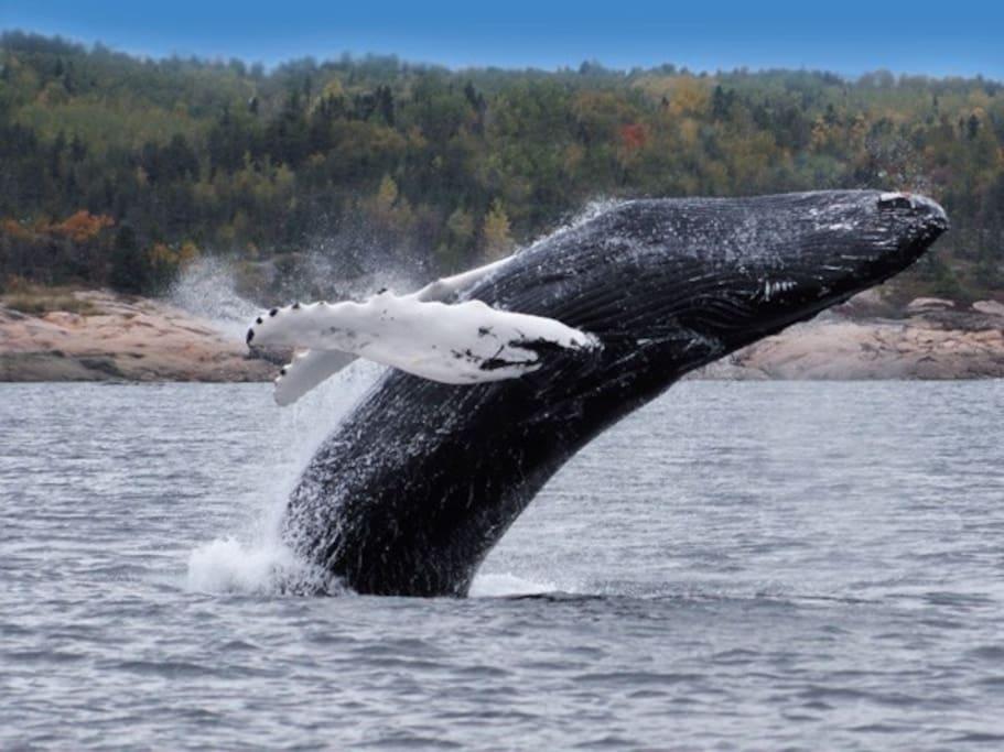 A 1h30, la ville de Tadoussac offre plusieurs forfaits pour partir à la découverte des majestueuses baleines.