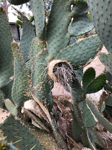 Bird Nest in the Cactus, we think this is a decoy...