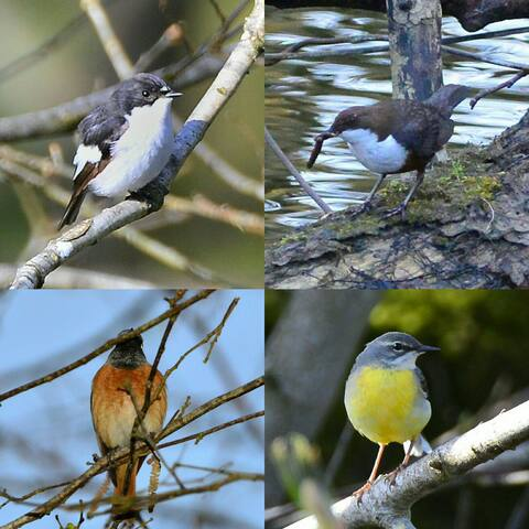 With the one to follow the big 5 at Bettws Mill! Clockwise from top left - pied flycatcher, dipper, grey wagtail and redstart. And following, of course, the red kite.