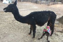 Little Pixie learning to nurse whilst wearing her elephant adorned cria coat.