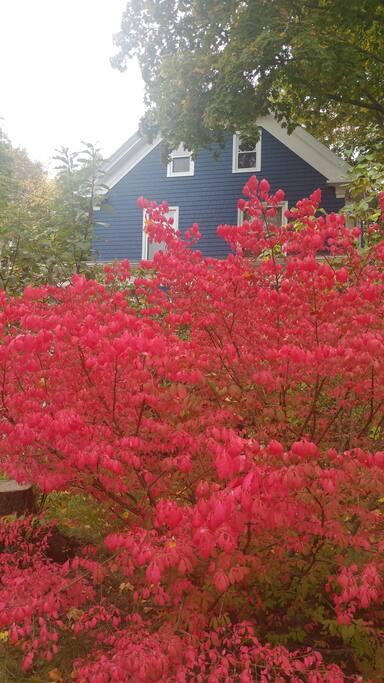 Burning bush in front yard, a fall highlight