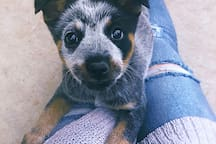BB the Blue Heeler with one of our guest!