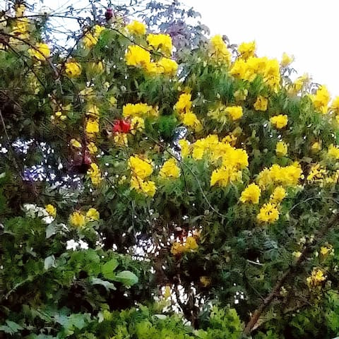Araguaney florido en el patio de la casa. Muchas plantas ornamentales y conuco con matas de cambures, aguacates y plátanos.