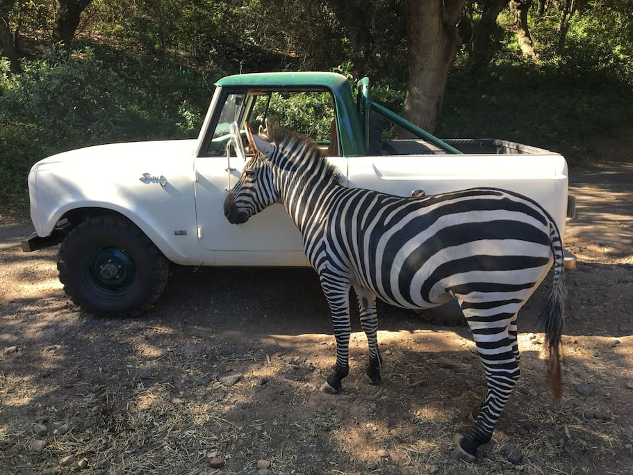 Meet Maynard, the Ranch's Zebra
