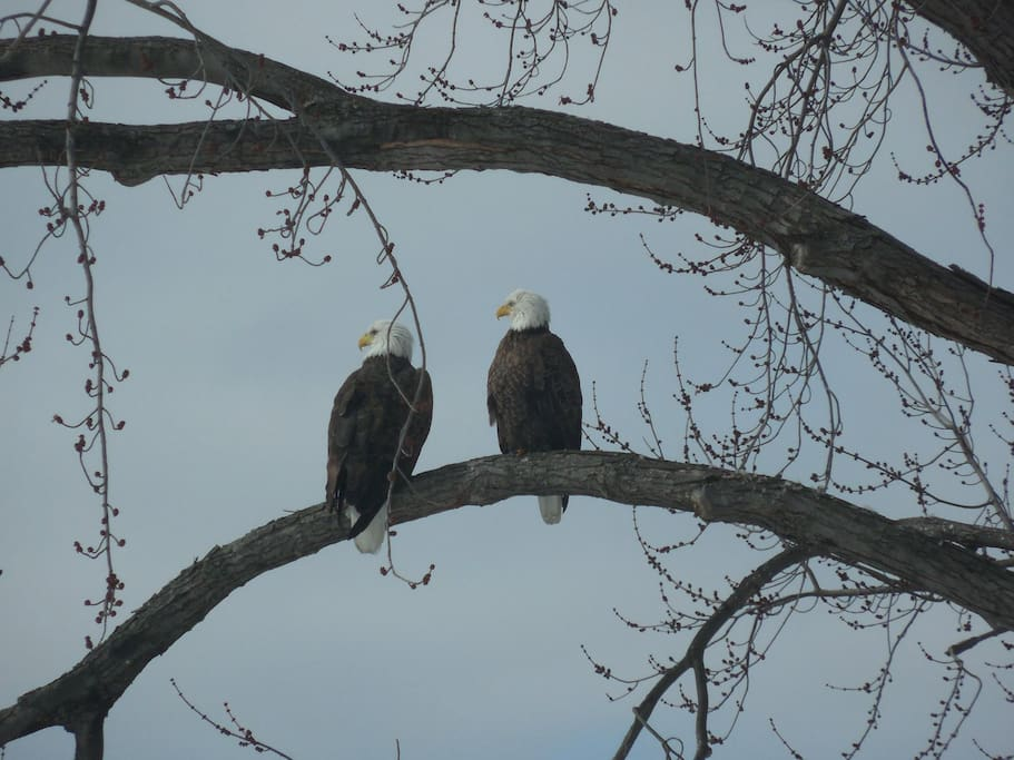Visitors across the street - Bald Eagles