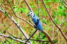 At the Casa Abierta, birders are kept busy! These blue jays are noisy & abundant!