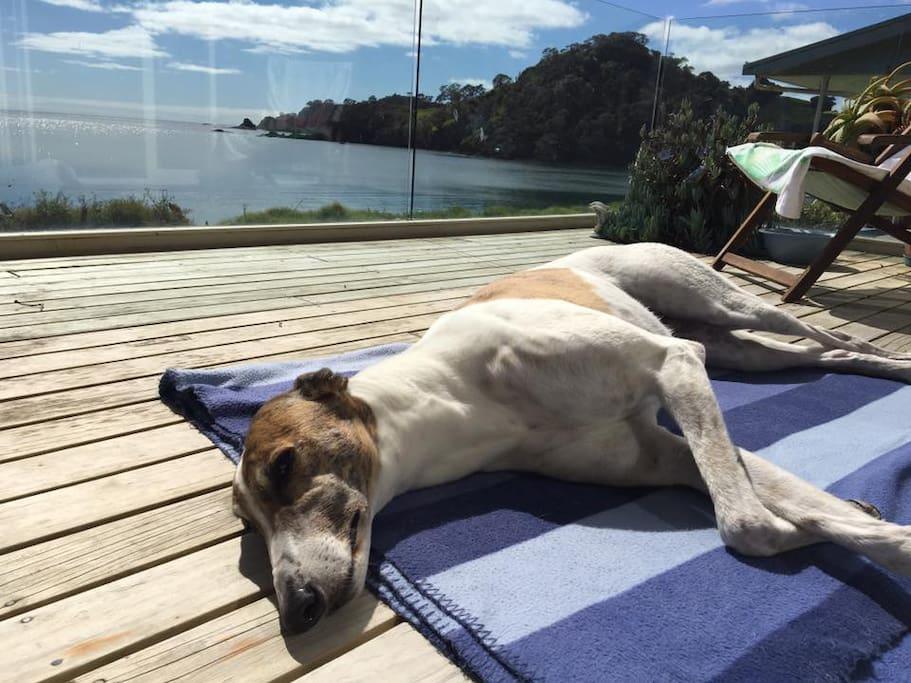 Our Greyhound Belle