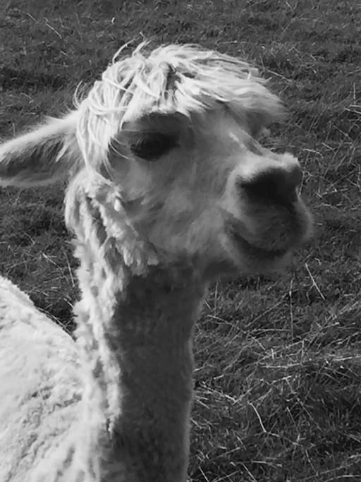 "One of our lovely alpaca rescues ""Donya"""