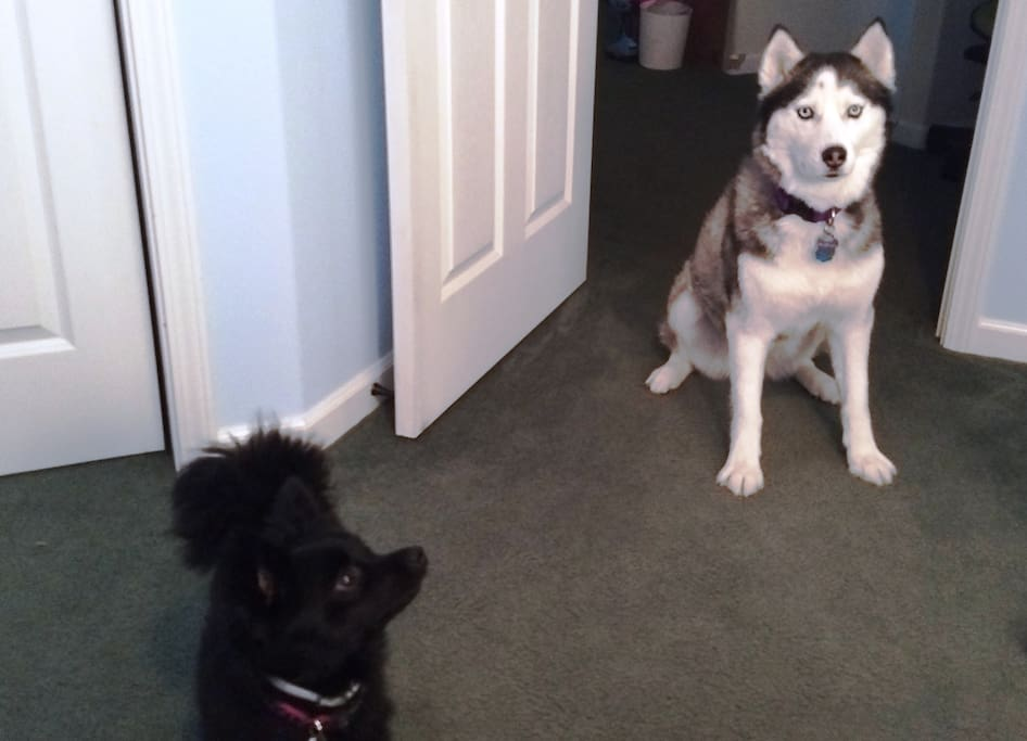 Ava is the husky & Ivy is the Pom
