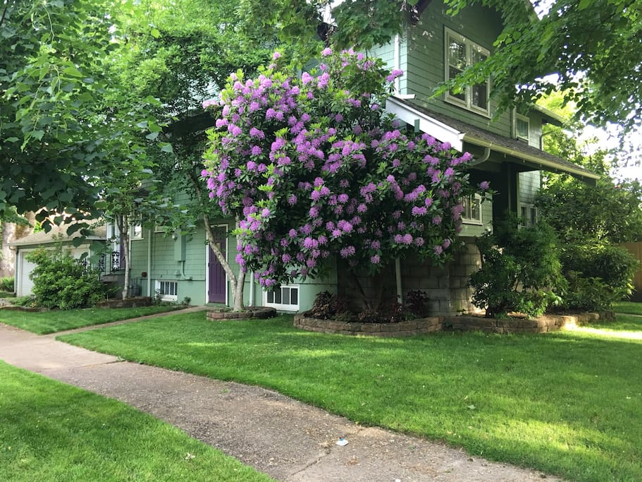 Early spring view of house corner with purple rhodie in bloom.