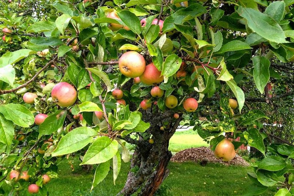 Old apple trees in the garden