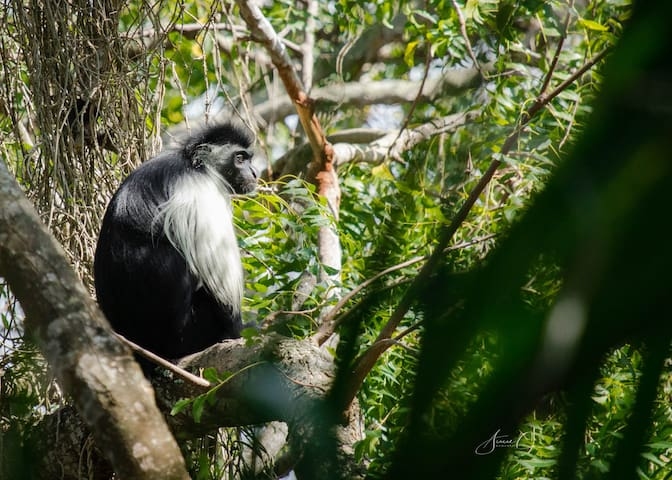 A beautiful Colobus monkey right outside the tent.