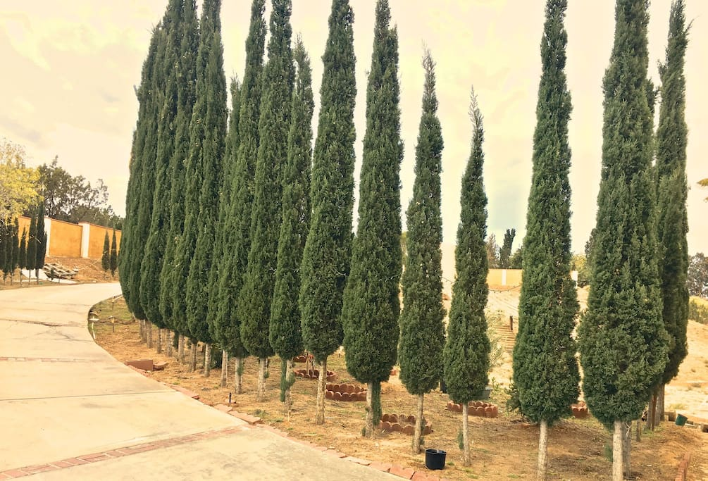 Italian cypress surrounding at the entry