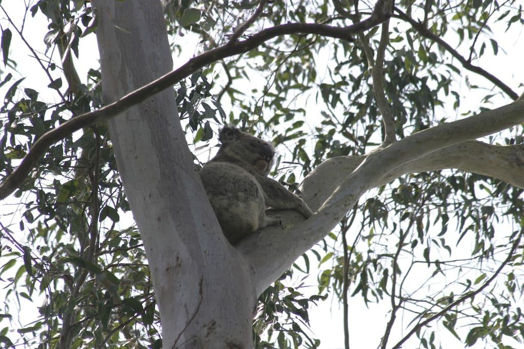 Local koala appears in mating season