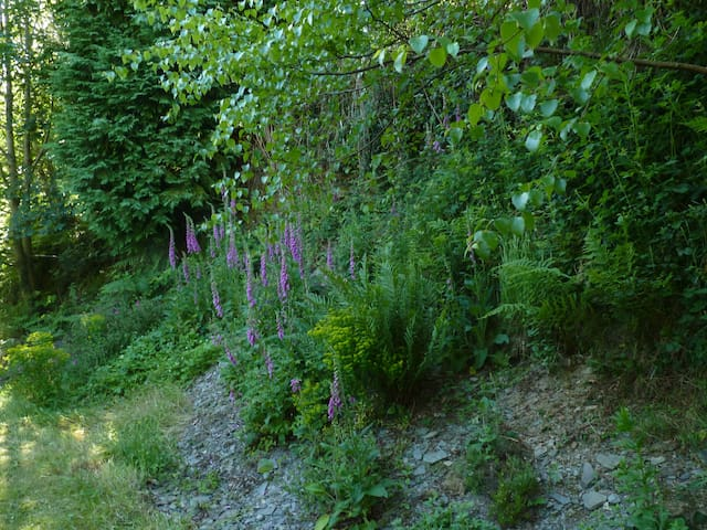 Foxgloves in the June garden