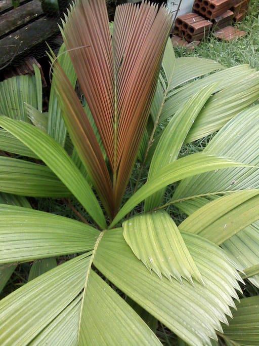 Palmeira nativa da região, plantada no jardim da casa.