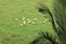 Flock of black headed Ibis' - from our balcony.