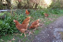 Our chickens ( fresh eggs available most of the time)
