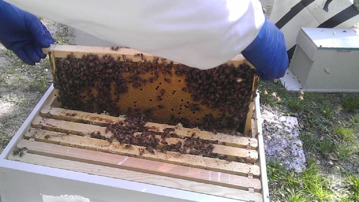 Closer view of frame filled with brood