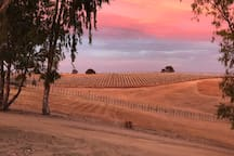The vineyard view from the front yard