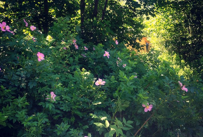 Walk past wild roses on your way to the tent in late June and early July
