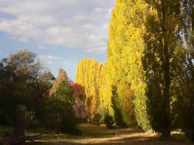Riverfront poplars