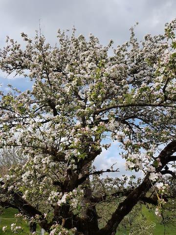 Blühender Apfelbaum - bei uns gibt es ca. 100 Obstbäume, welche im Frühjahr herrlich blühen. Geniessen Sie die Natur und ihre Jahreszeiten.