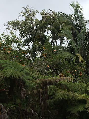 Oranges growing and draping over the lush gardens of da bungalow