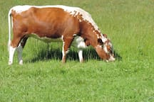 Irish Moiled heifer 'Channel' grazing  traditional hay meadow