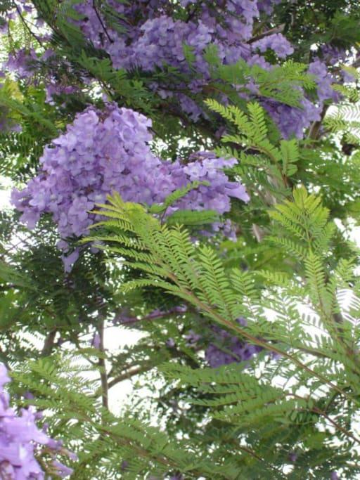 l'albero blu (Jacaranda)
