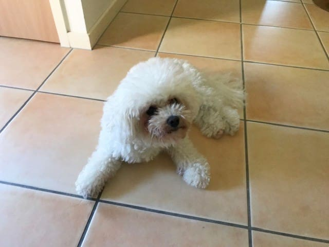 Lucy the Bichon