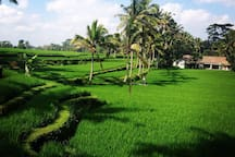 Nice contour in the green ricefields