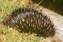 Another visitor: a local echidna