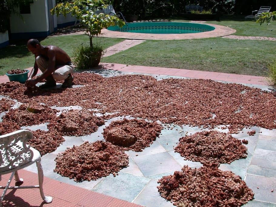 Secando el Cacao al sol para convertirlo en chocolate