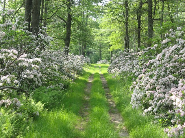 Trail through the mountain laurel in the spring