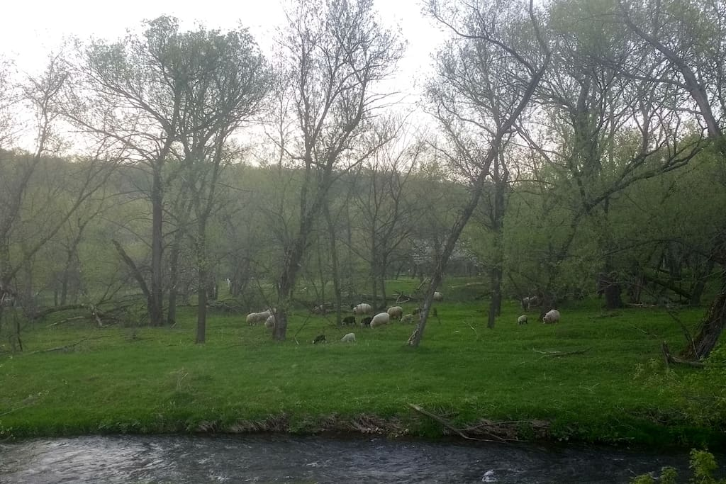 It's not unusual to see the sheep grazing across the river in the morning. View from porch.
