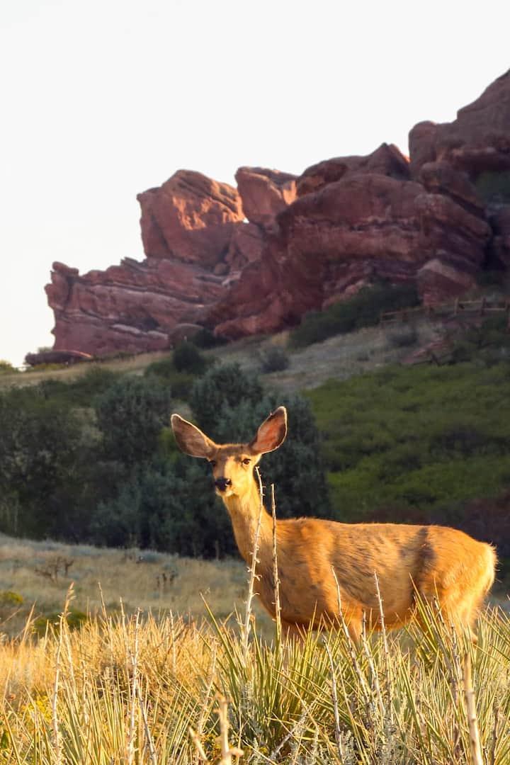 Mule Deer at Red Rocks