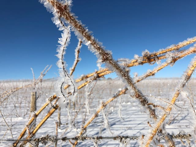 Frost in the vineyard